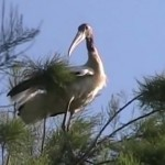 600x331 Big bird, in Stills from Video, by Bret Wagenhorst, May 2009