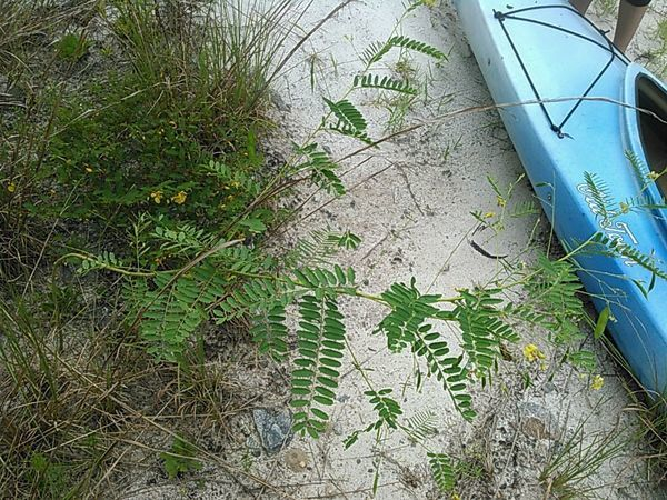 600x450 Chamber bitter (Phyllanthus Urinaria) exotic invasive, in Sabal Trail @ Withlacoochee @ US 84, by John S. Quarterman, for WWALS.net, 28 August 2015
