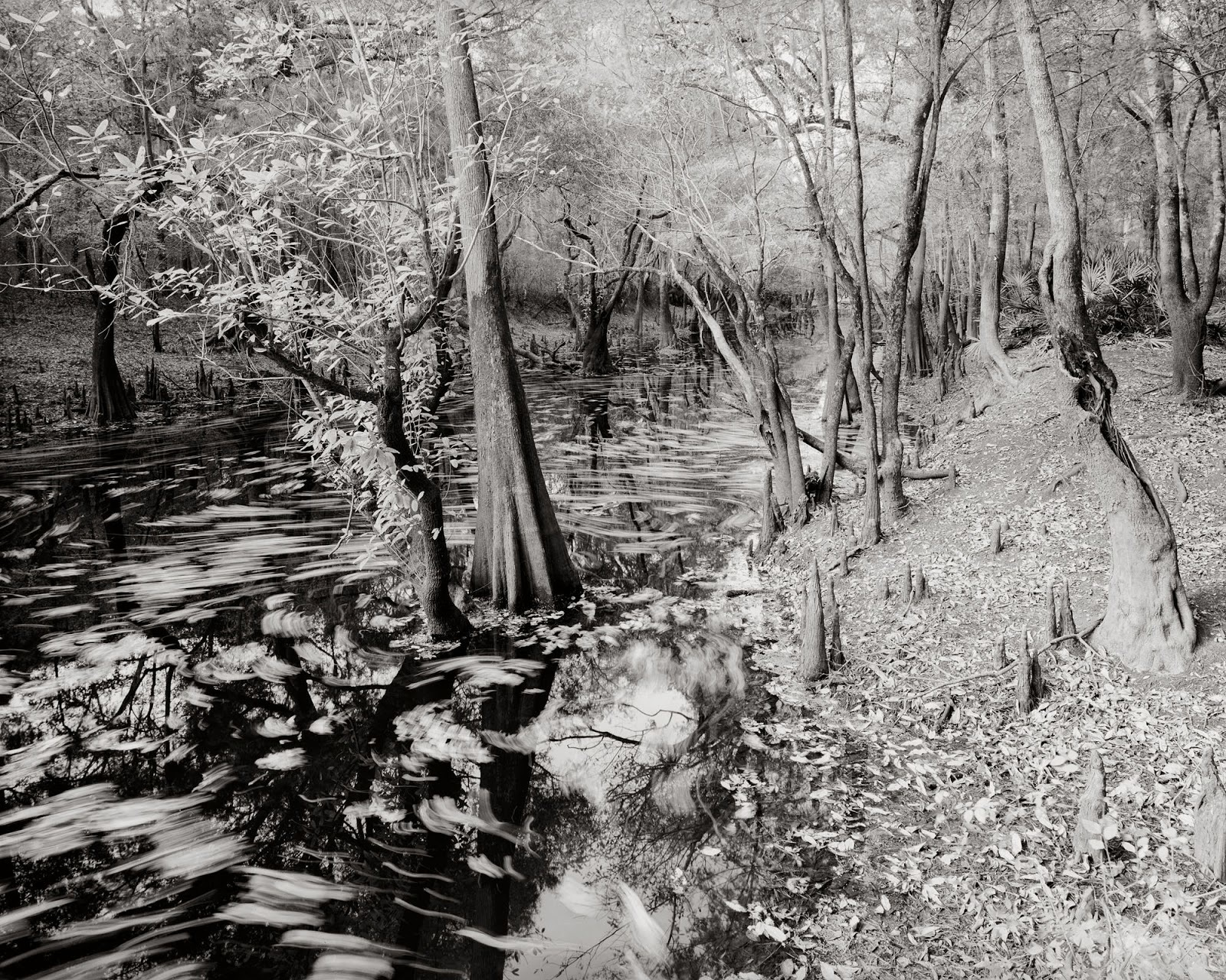 1600x1280 Cypress shoreline, in River Pictures, by Bryan Garris, 8 February 2016