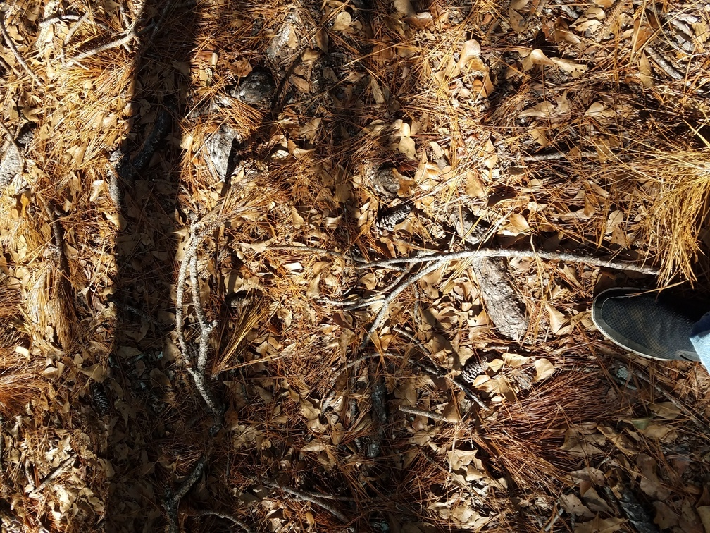 1008x756 Pine straw 30.8286221, -82.3341522, in Okefenokee Billys Island Outing, by John S. Quarterman, for WWALS.net, 10 December 2016
