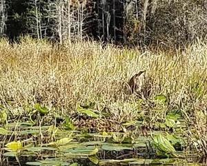Bittern closeup, 10:20:04,, Suwannee River 30.8348750, -82.3478817