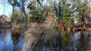 Spanish moss, Yaupon Holly, 09:51:58,, Starting 30.8302949, -82.3605347