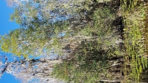 Very tall Yaupon Holly, 10:30:30,, Middle Fork, Suwannee River 30.8350869, -82.3429985
