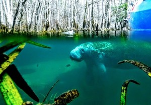300x209 Manatee, Manatee Springs, in Manatee Springs to Fowlers Bluff, Suwannee River, by Scotti Jay, for WWALS.net, 24 February 2018