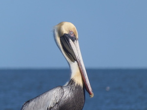 300x225 Pelican, 29 North, in Songwriting Contest Committee, by Gretchen Quarterman, for WWALS.net, 25 February 2018