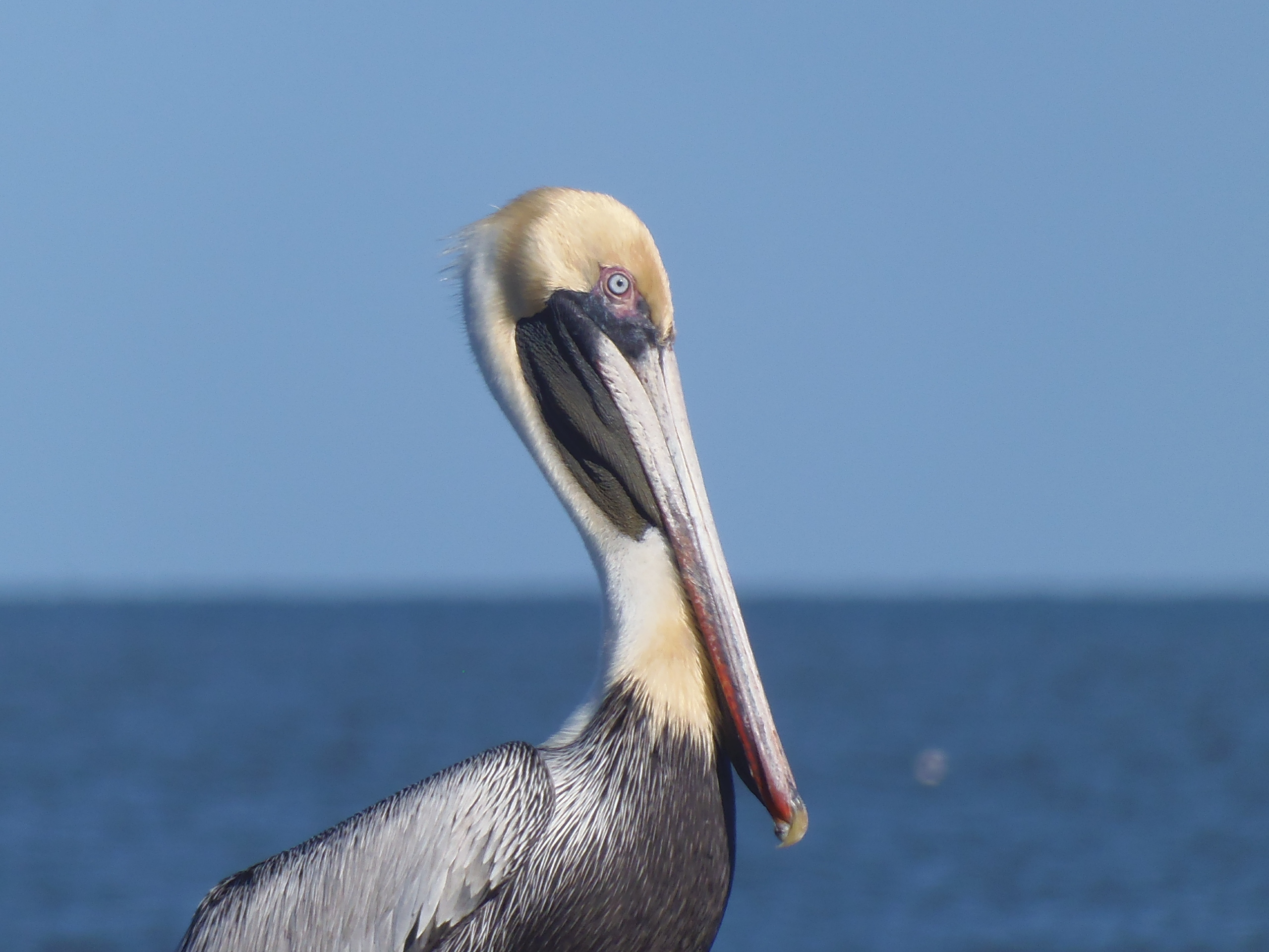 2560x1920 Pelican, 29 North, in Songwriting Contest Committee, by Gretchen Quarterman, for WWALS.net, 25 February 2018
