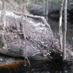 600x338 Roots, in Statenville to Sasser Landing on the Alapaha River, by John S. Quarterman, for WWALS.net, 15 February 2015