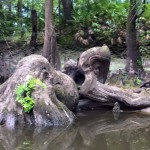 960x704 Beautiful natural sculpture., in Confluence of the Little and Withlacoochee Rivers, by Julie Bowland, for WWALS.net, 2 July 2015