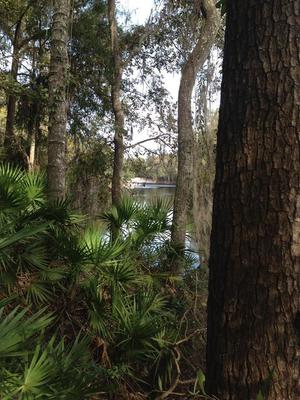 Suwannee River with palmettos