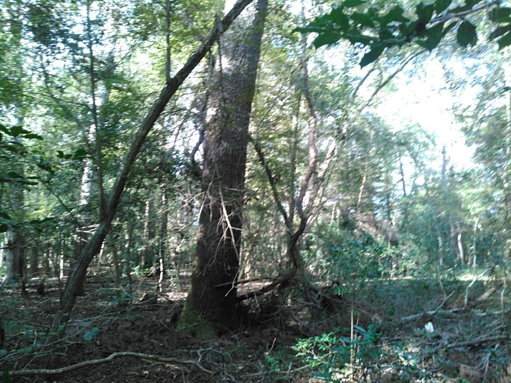 1024x768 Trees and vines 30.4076195, -83.1589966, in WWALS Field Trip to proposed Sabal Trail Suwannee River Crossing, by John S. Quarterman, for WWALS.net, 15 November 2015