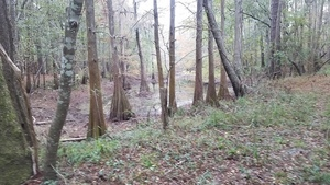 Cypress pond, 13:49:13,, Wade Spring 30.7902049, -83.4557045