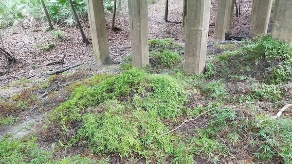 Japanese climbing fern, 13:28:39,, Upwards