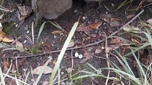 Mussel shell, 13:23:00,, Spook Bridge 30.7905873, -83.4518152