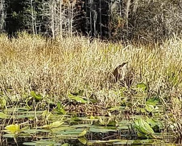 600x481 Bittern closeup, 10:20:04, 30.834875, -82.3478817, Suwannee River, in One alligator, some turtles, many birds: cold and clear Okefenokee Outing, by John S. Quarterman, for WWALS.net, 10 December 2017