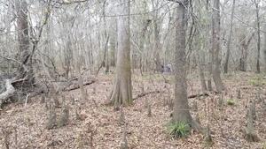 Plenty of cypress knees, 16:18:14,, Wetlands 30.8623900, -83.3224900
