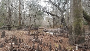 Cypress knees and river, 16:28:44,, In the river 30.8620271, -83.3225940