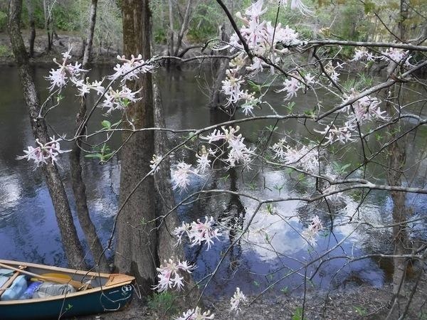 Native wild azaleas, Rhododendron canescens, Plants